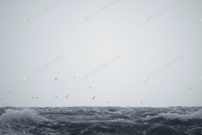 Flock of seagull flying over  Isle of Jersey, Channel Islands