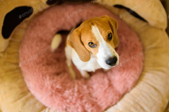 Dog sitting in pink dog bed looking up at camera. Beagle pet concept