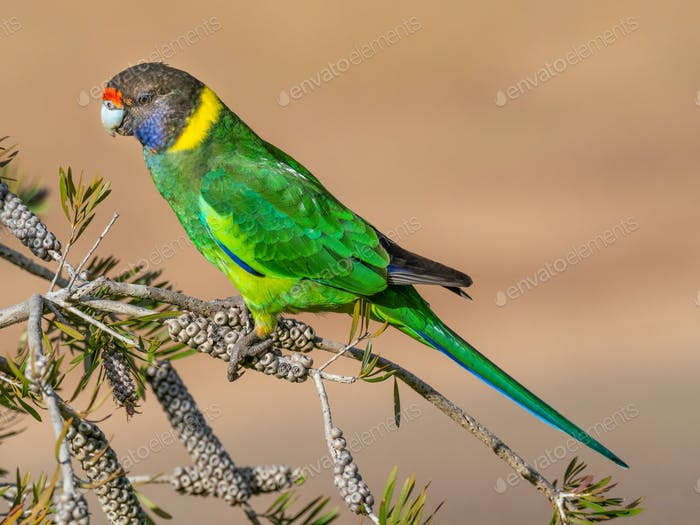 Australian Ringneck or Twenty-eight Parrot