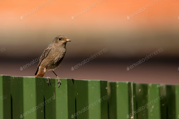 Black redstart or Phoenicurus ochruros with prey