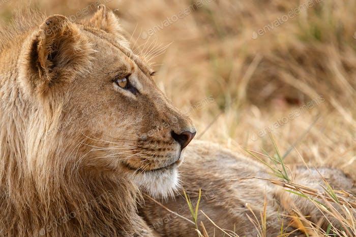 Lion - Okavango Delta - Moremi N.P.