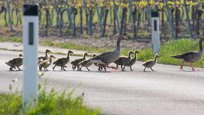 Flock of greylag goose crossing countryside road together