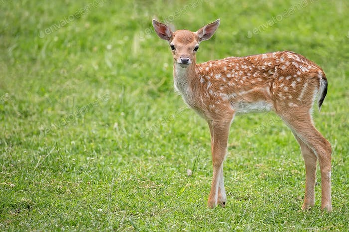 Young fallow deer in the wild