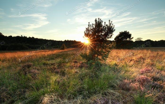 sunshine behind pine tree