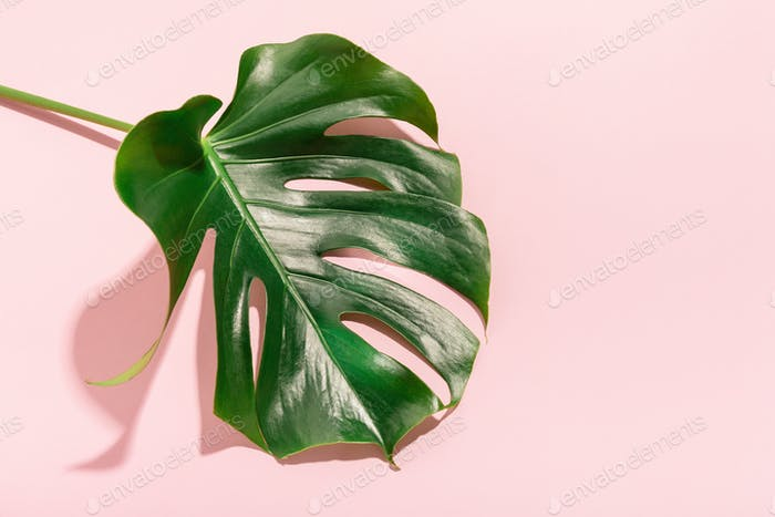 Monstera green leaff on pink