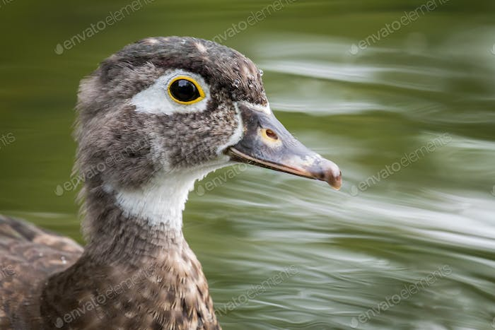 Wood Duck - Aix sponsa, closeup portrait of a female swimming in a pond.