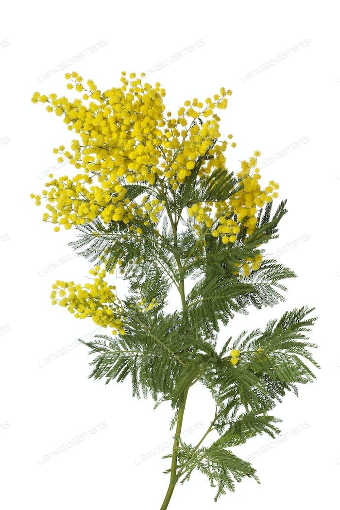 Twig of mimosa