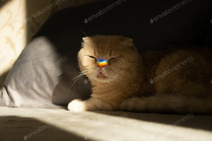 Pride month, lgbt rainbow symbol concept. Scottish fold cat with a colorful rainbow lgbt colors
