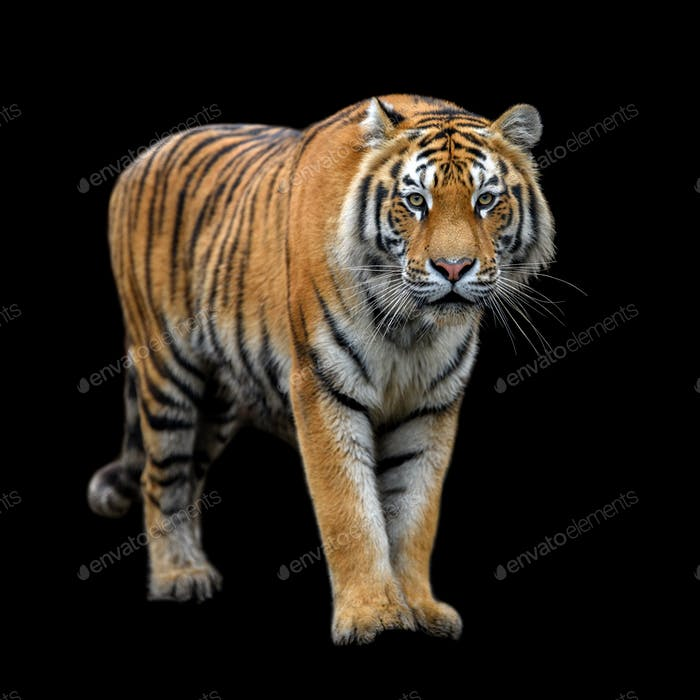 Close up Siberian or Amur tiger on black background
