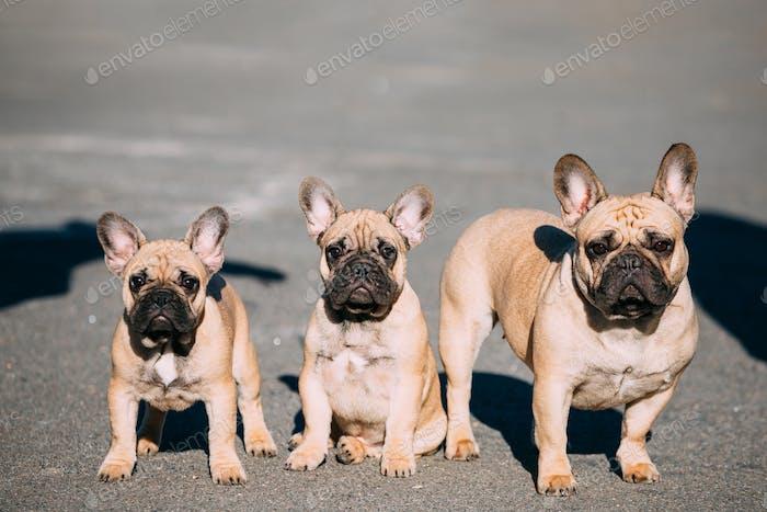 Drei Lustige Schöne Französisch Bulldogs Hunde Welpen Outdoor