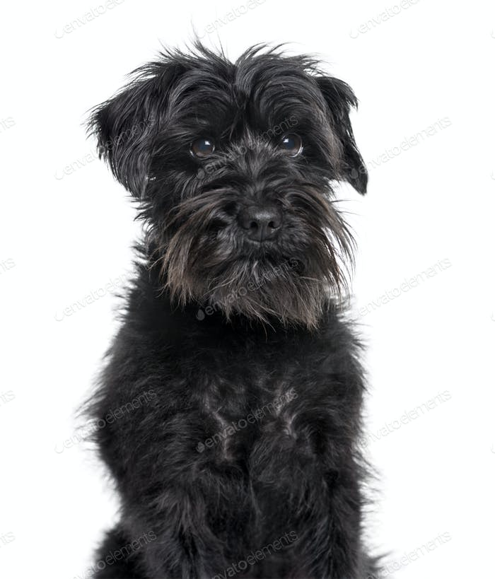 Schnauzer looking at camera against white background