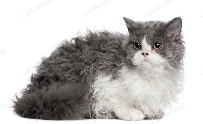 Selkirk Rex (5 months old), British Longhair kitten (3 months ol