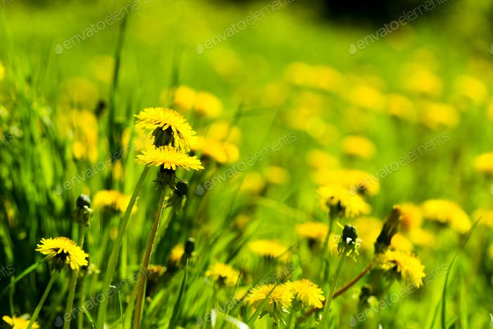 Flowering dandelions on a summer sunny day