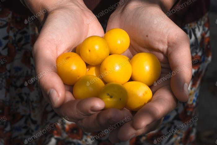 Handful of yellow plums in the hands of a farmer