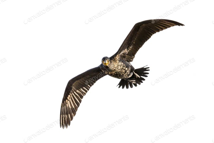 Flying Great cormorant on white background