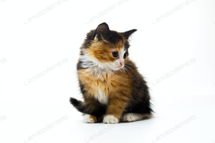 Thumbnail for Furry kitten on white background isolated
