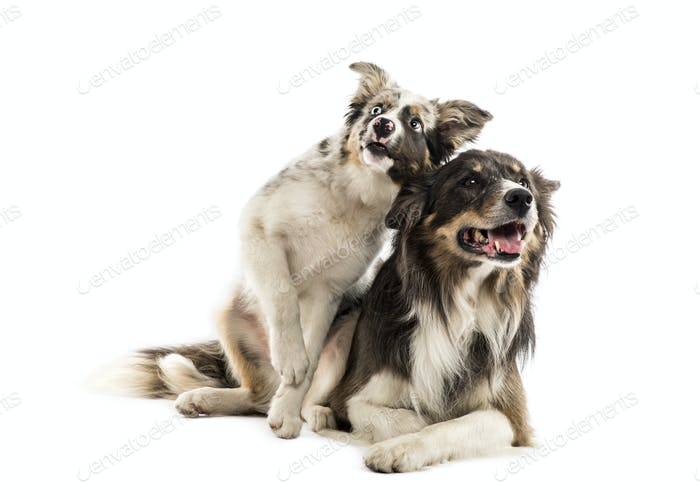 Two Border collies lying