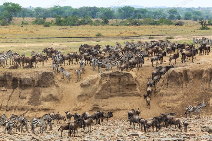 Wildebeest migration in tanzania and kenya82