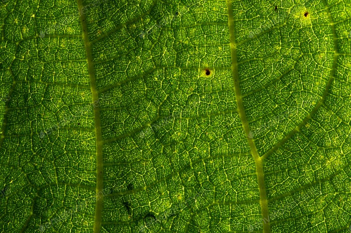 Background of the green leaf with  brown spots of pest bite