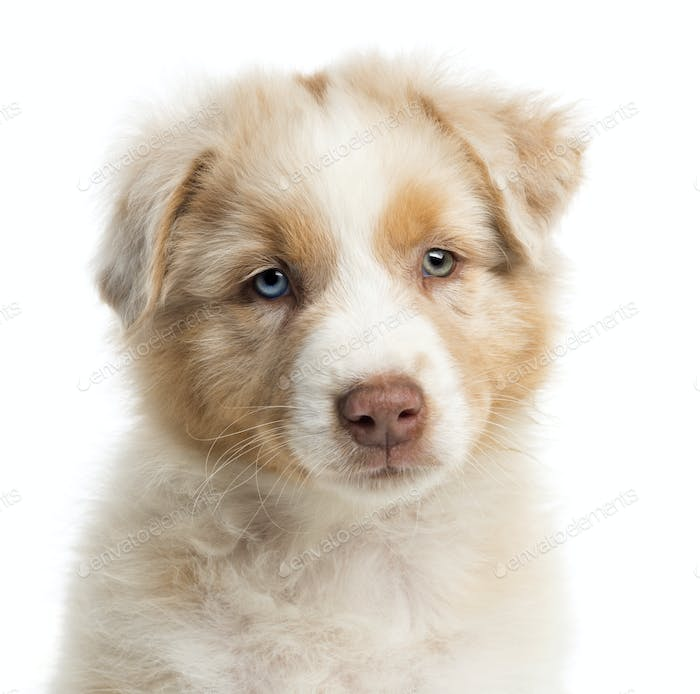 Close-up of an Australian Shepherd puppy, 8 weeks old, portrait against white background