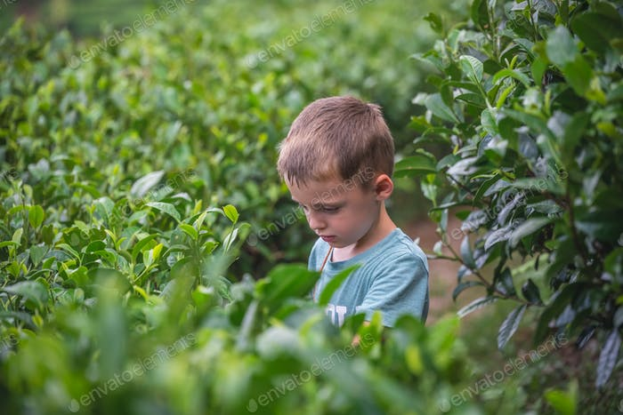 Beautiful closeup of a boy collecting tea leaves