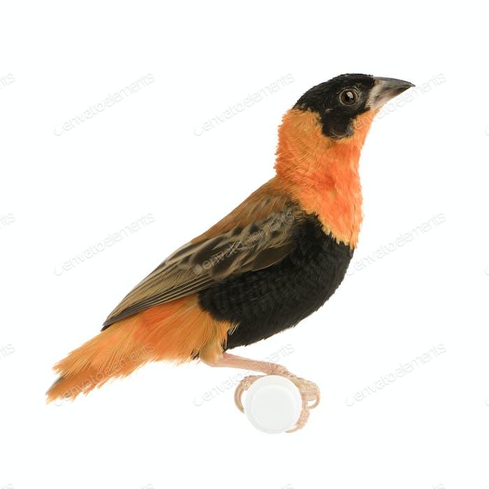 Northern Red Bishop - Euplectes franciscanus