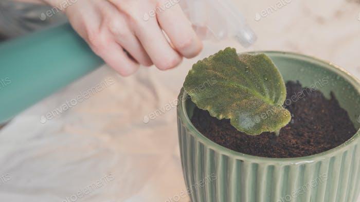 Frau spritzt mit Wasser Blatt von Veilchen in Topf zu Hause.