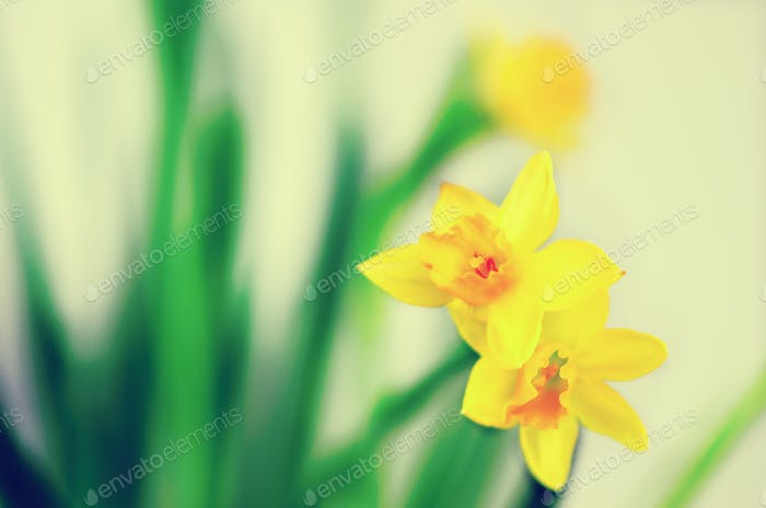 Bright yellow daffodils, narcissus. Spring and Easter. Free space for your text