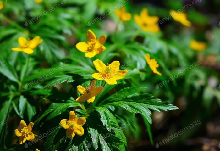 Blooming Winter Aconite - Eranthis hyemalis