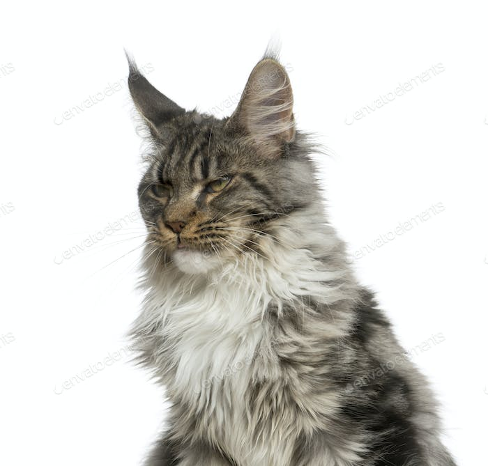 Close-up of a grumpy Maine Coon in front of a white background