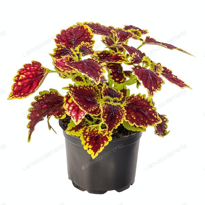 Colorful coleus houseplant
