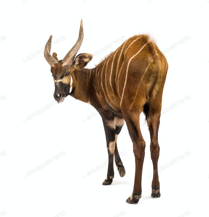 Back view of a bongo, antelope, Tragelaphus eurycerus standing against white background