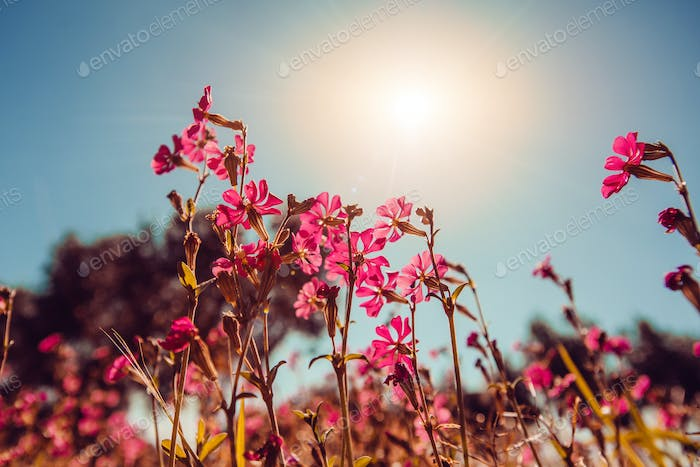 Blooming wildflowers. Natural blurred background.