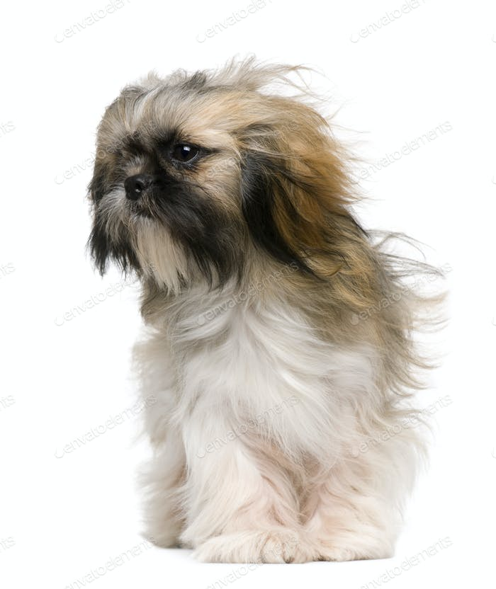 Shih Tzu, 1 year old, with windblown hair in front of white background
