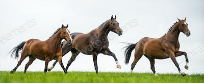 Horses galloping in a field