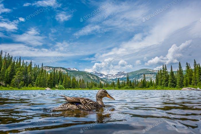 Stockente am verlorenen Lake Colorado