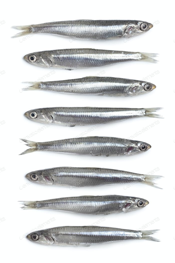 Whole fresh raw European anchovy in a row