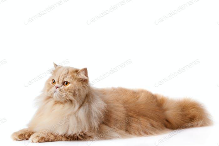 persische Katze isoliert auf weiß. Persische Katze Porträt