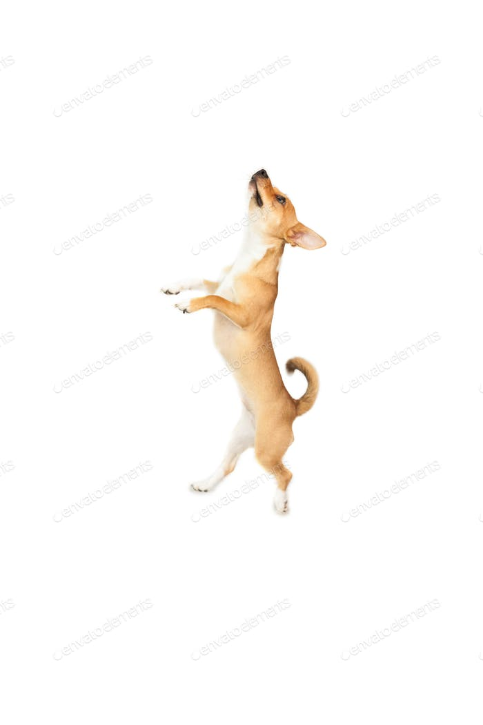 Cute chihuahua dog looking up on white background