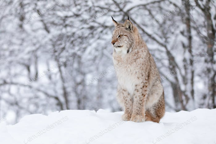 Portrait of beautiful lynx cat in the winter snow