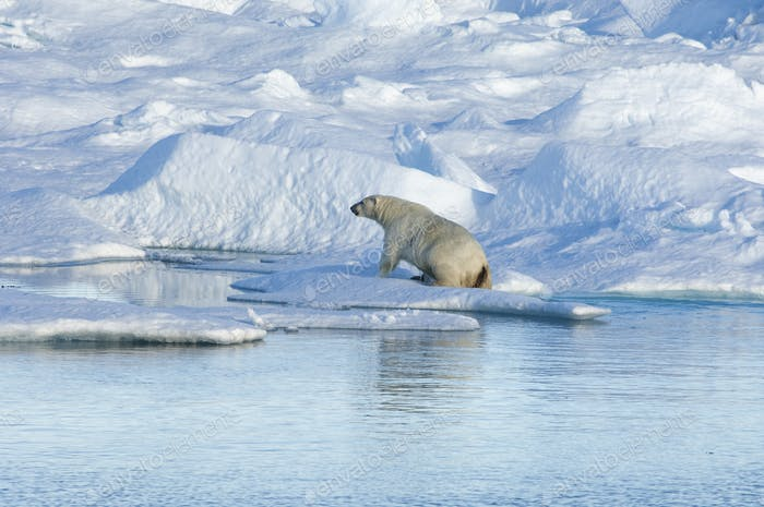A polar bear climbing out of the water on to an ice floe.