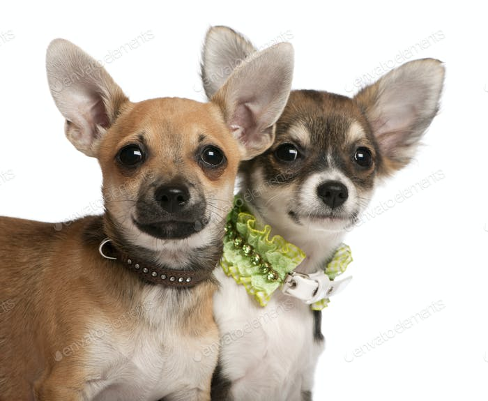 Close-up of Chihuahua puppies, 3 months old, in front of white background