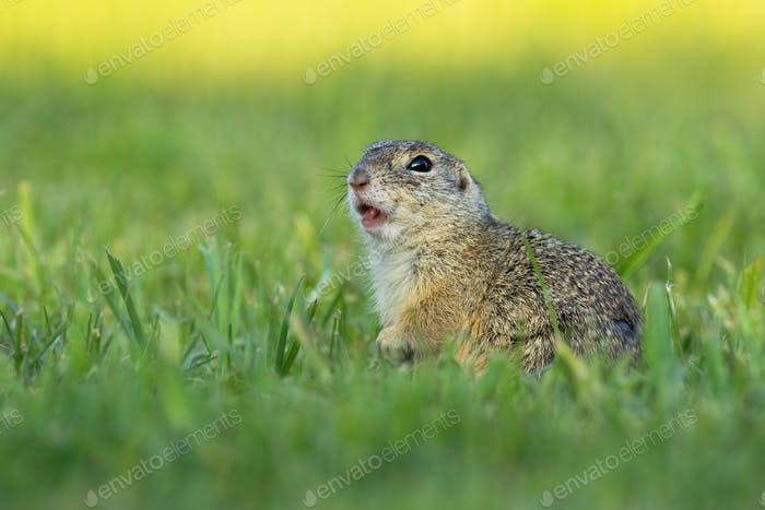European ground squirrel whistling and watching alerted on a green meadow