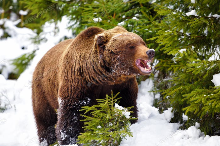 Wild brown bear in winter forest