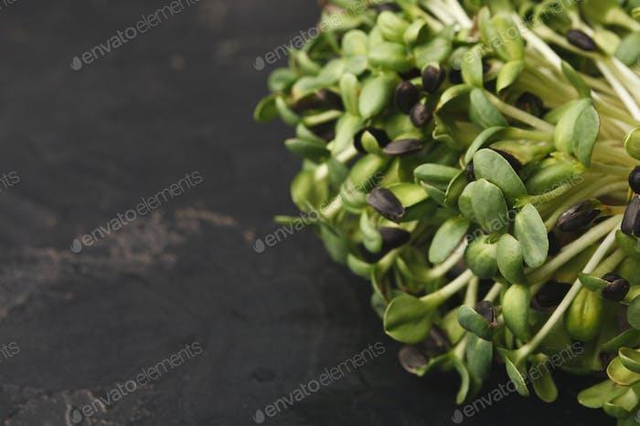 Organic growing micro greens closeup