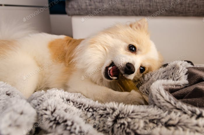 Pomeranian dog lying on blanket and chewing a dog treat bone.