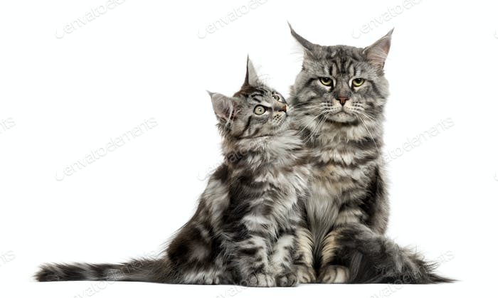 Maine coon kitten and mother in front of white background