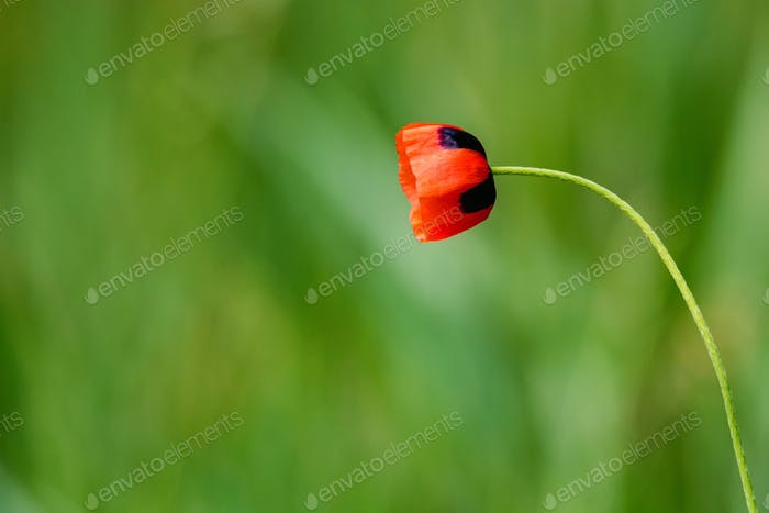 Single poppy flower with poppy field background