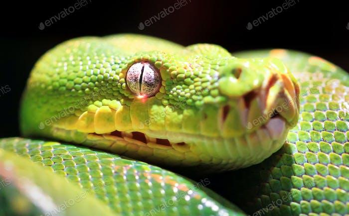 Closeup of a Green Tree Python