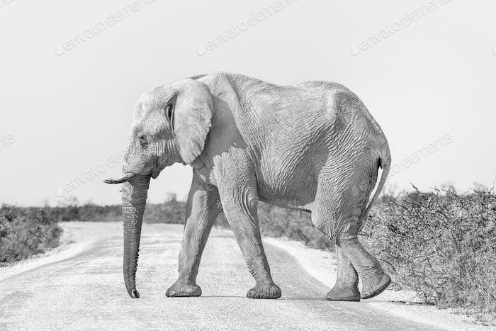 Monochromer afrikanischer Elefant, bedeckt mit weißem Kalkretstaub